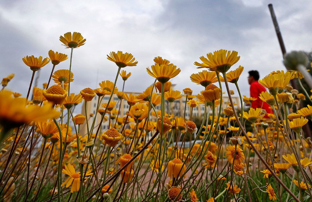 Flowers in the median on Young Street reach for the sun while dark clouds move out of the area on March 16 in downtown Dallas. (Jae S. Lee/The Dallas Morning News