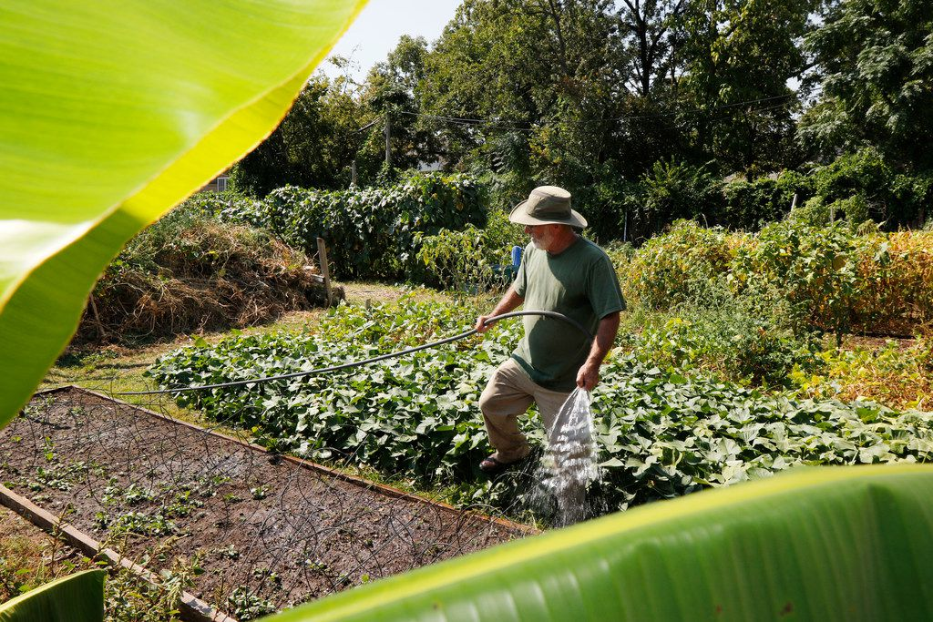 Don Lambert, founder of Gardeners in Community Development, waters vegetables in the Live Oak Community Garden. Lambert's organization manages several gardens in the Dallas area and has helped get dozens of others off the ground since its inception in 1994.