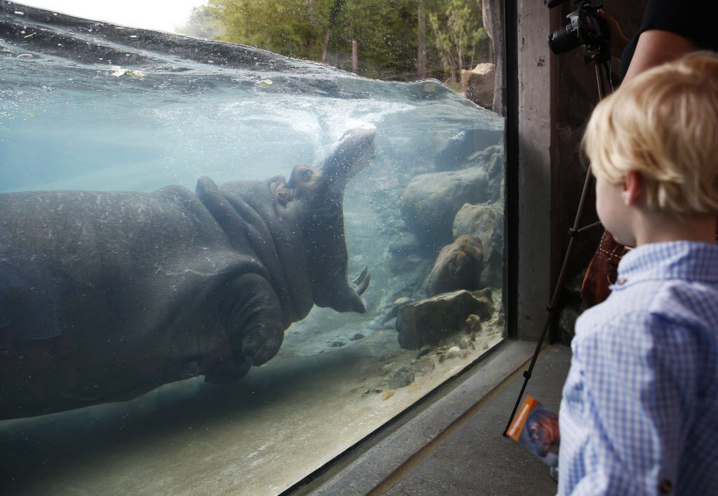 Adhama opens his mouth wide as Gambill Whitsitt, 3 gets a good look at him during the grand opening of the Dallas Zoo's hippo exhibit in Dallas on Friday, April 28, 2017. Adhama (male) and Boipelo (female) are the two hippos in the exhibit. This is the first time the zoo has had hippos since 2001 when the last one died. (Vernon Bryant/The Dallas Morning News)