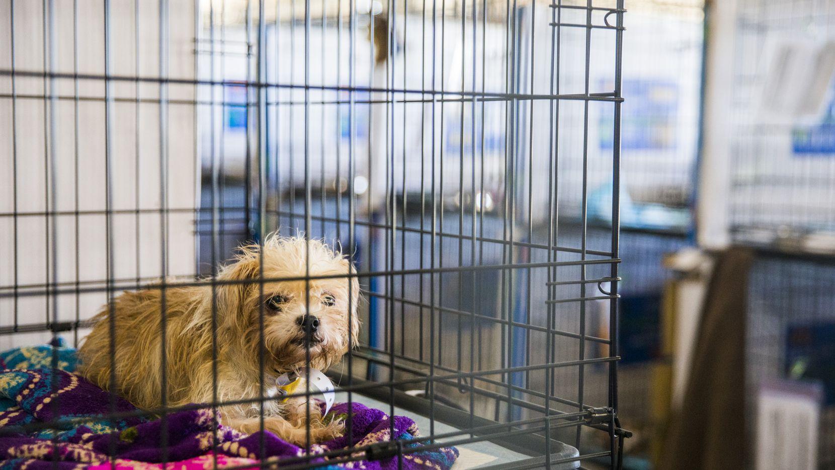 El Spay Neuter Network del Norte de Texas y el SPCA ofrecen vacunas para mascotas gratuitas o a bajo costo en el área de Dallas.