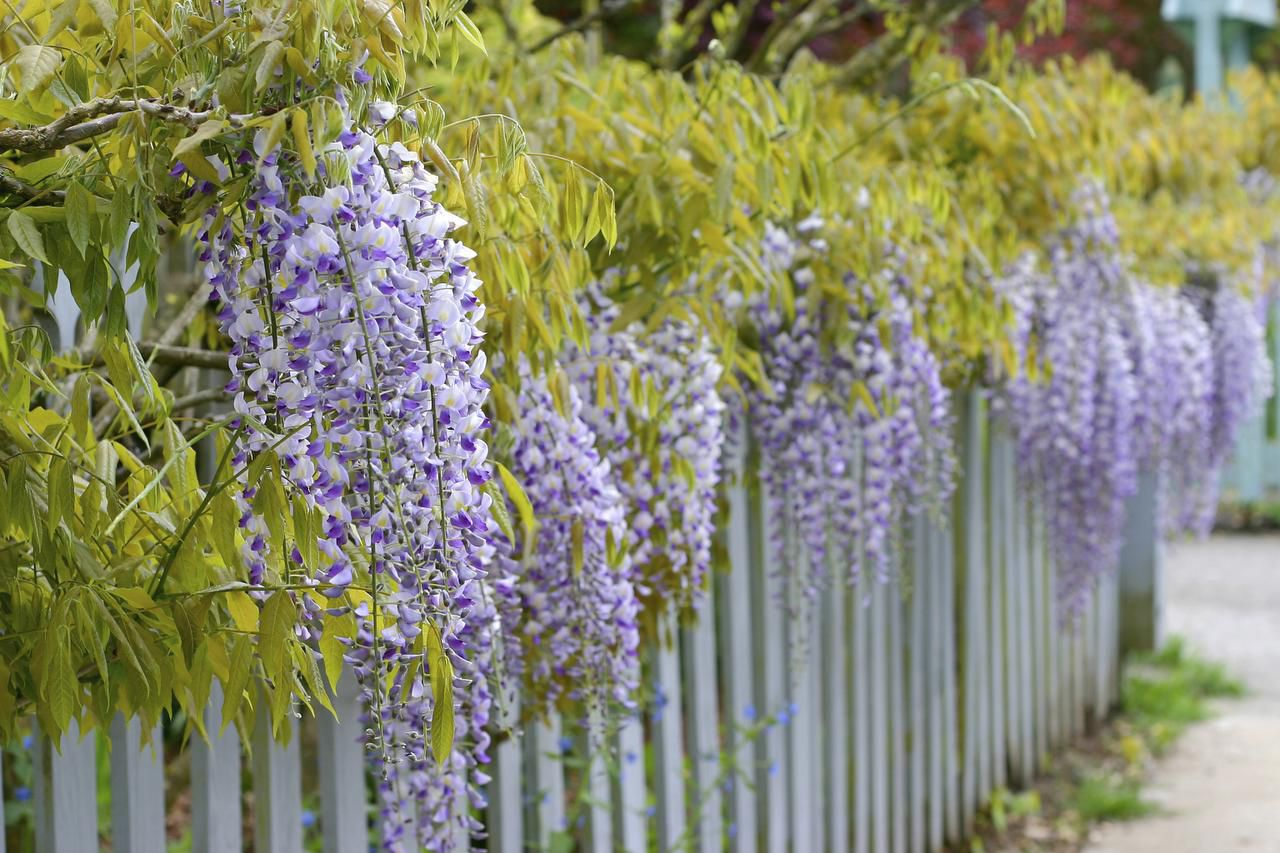 Wisteria's lavender tresses are striking but cannot be counted on unless the plant is purchased in bloom.
