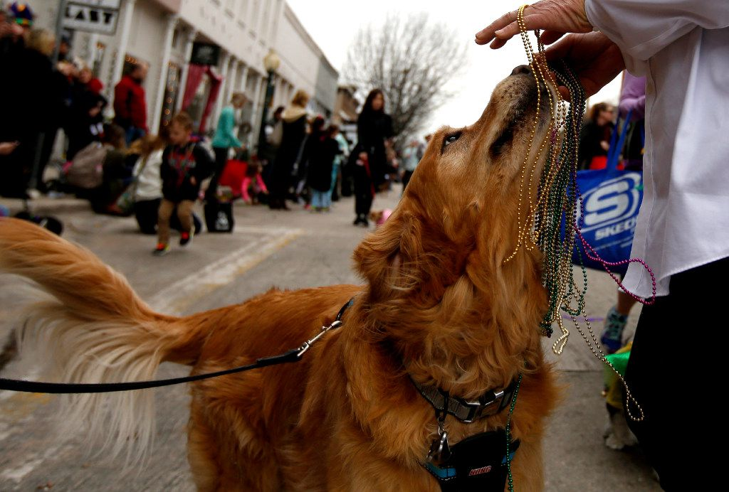 A dog got beads during the Krewe of Barkus parade in downtown McKinney in 2017.