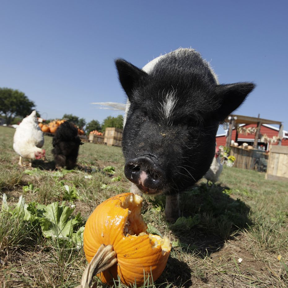 Lola the pig and some chickens snack on pumpkin and lettuce at Lola's Local Market in Melissa.