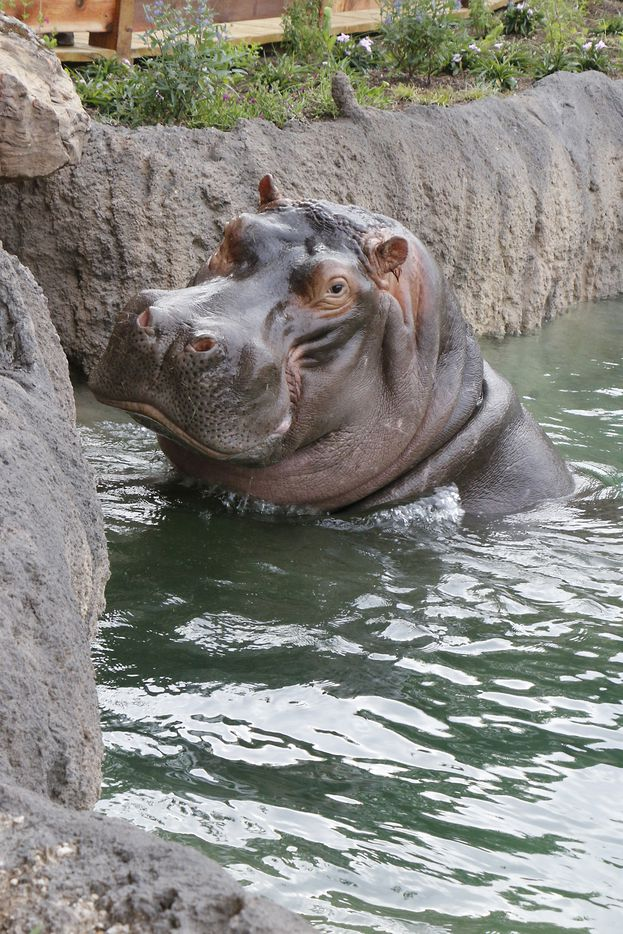 Adhama poses for a picture at the Simmons Hippo Outpost at the Dallas Zoo.