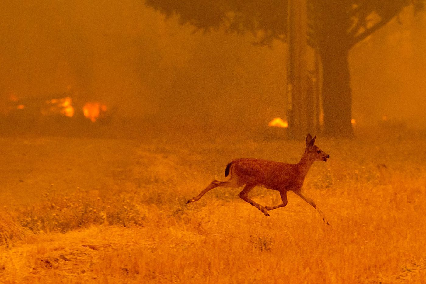 TOPSHOT - A deer runs from flames as the Ranch Fire tears down New Long Valley Rd near Clearlake Oaks, California, on Saturday, August 4, 2018.   The Ranch Fire is part of the Mendocino Complex, which is made up of two blazes, the River Fire and the Ranch Fire. / AFP PHOTO / NOAH BERGERNOAH BERGER/AFP/Getty Images
