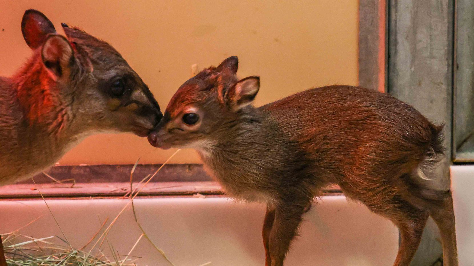 Cupcake, a blue duiker, one of the smallest species of antelope in the world, checks on her newborn at the Dallas Zoo on Friday, June 11, 2021. The Dallas Zoo is involved in an effort to bolster their species, as there's only about 50 antelopes of their kind living at zoos in the US.