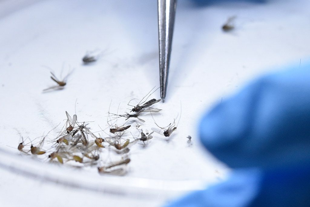 Hadis Hosseinzadehnaseri, a vector research and laboratory coordinator at Municipal Mosquito, separates mosquitoes and other insects collected from traps at their laboratories in Richardson, April 30, 2019.