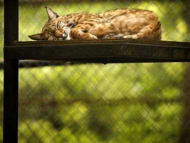 A bobcat naps at In-Sync Exotics in Wylie, Texas, on May 15, 2020.