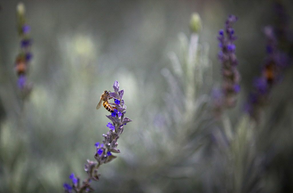 A bee collects pollen from the flowers of a rosemary bush in Kent Rathbun's home garden Wednesday, November 11, 2015 in Dallas. (G.J. McCarthy/The Dallas Morning News)  Photos of chef Kent Rathbun at his home Wednesday, November 11, 2015 in Dallas. (G.J. McCarthy/The Dallas Morning News)