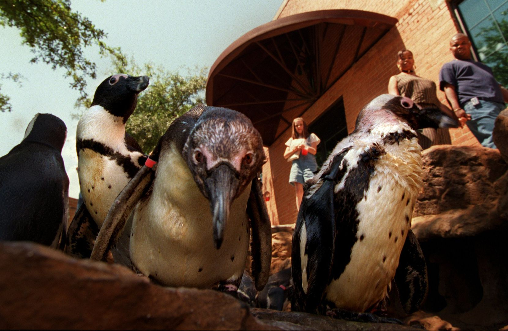 South African penguins checked out their new digs at the Dallas World Aquarium in May 1996. (File Photo/Staff)