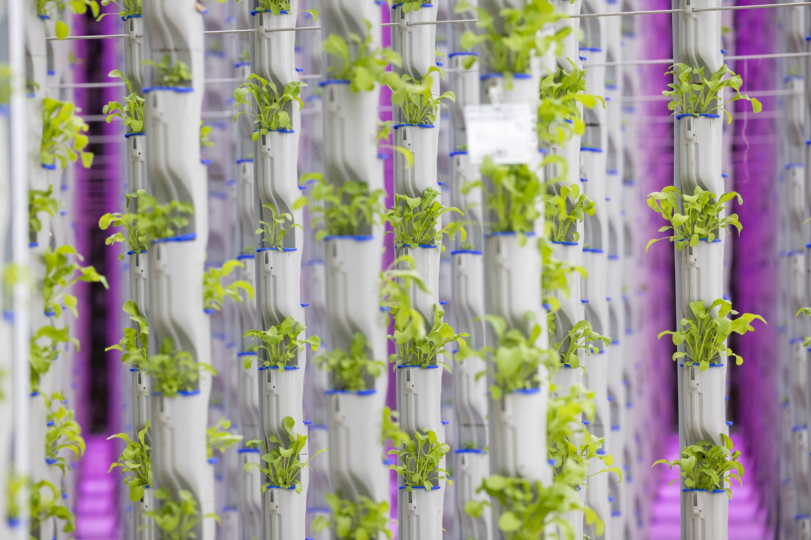 Eden Green's vertical farming is shown in its existing research and development greenhouse.