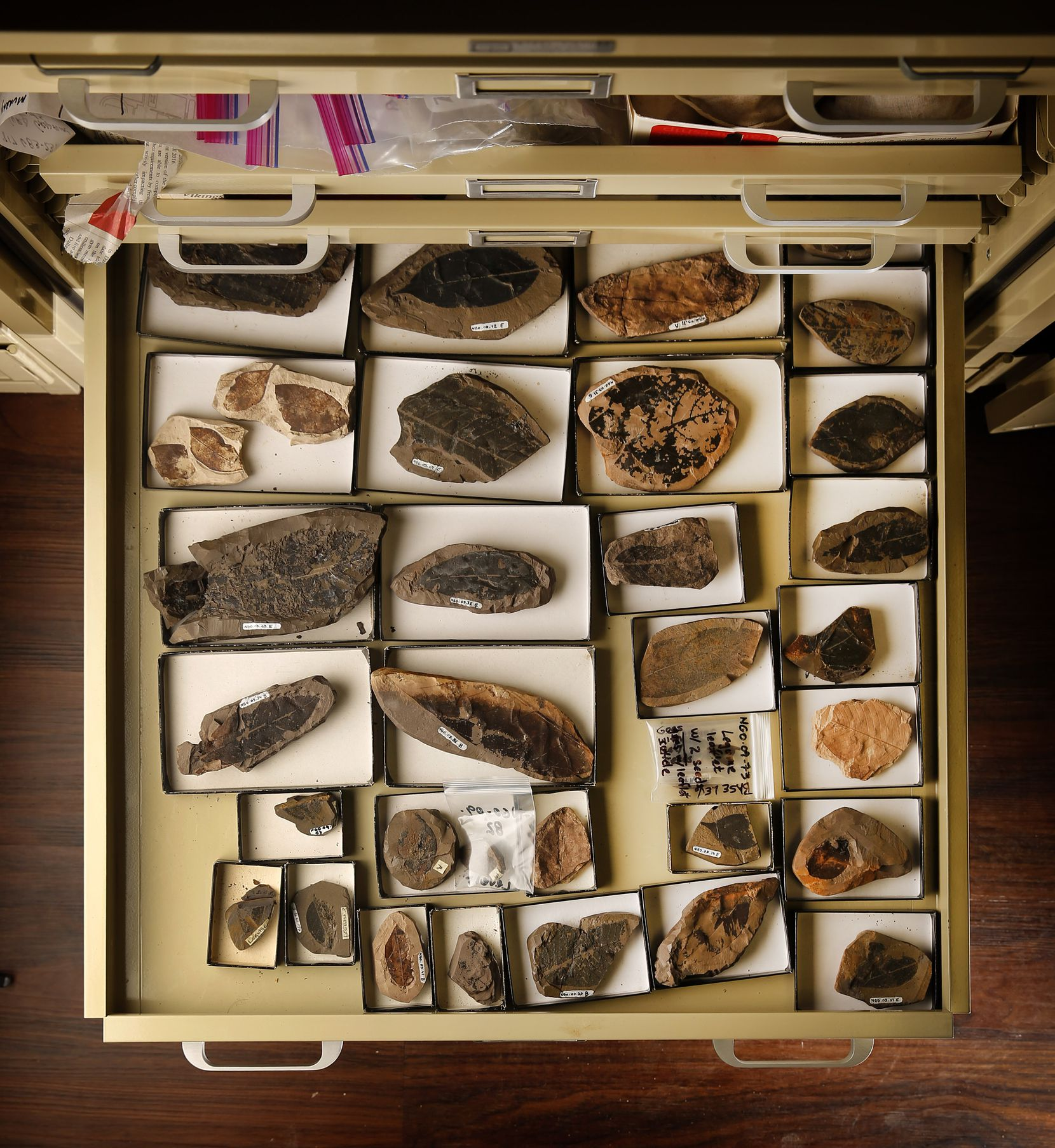 Paleobotanist Bonnie Jacobs, an SMU professor, keeps a collection of leaf fossils in her university lab.