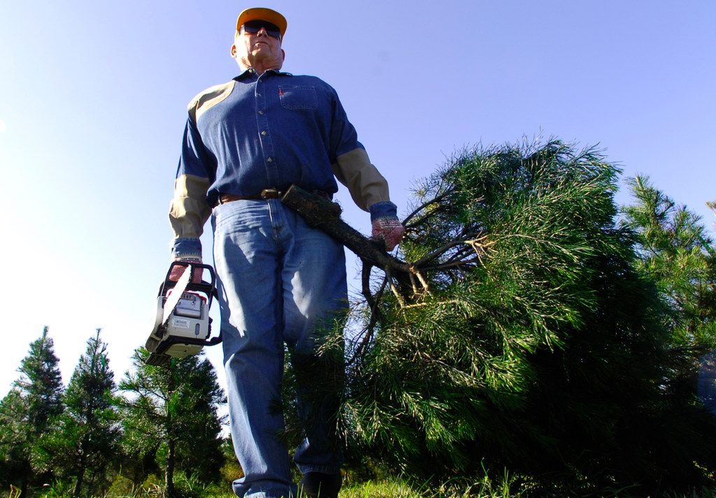 In this recent photo, Don Kachtik, owner of the K&K Evergreen Farm outside of Orange, Texas, carries another cut tree to his wagon from his field for an early customer who was on her way to Dallas. K&K recently announced on its Facebook page that the family business was closing after 40 years because of Tropical Storm Harvey and last year's Sabine River flooding.  (Dave Ryan/The Beaumont Enterprise via AP)