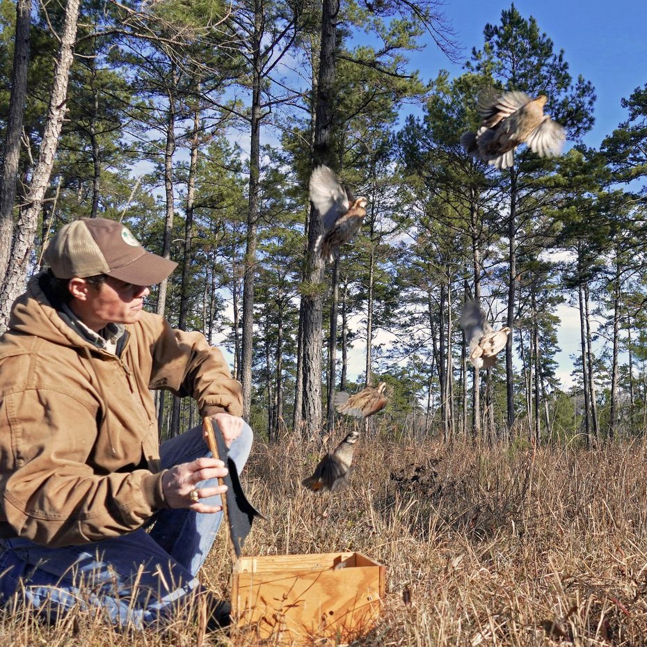 Brad Kubecka, the new Western Game Bird program director for Tall Timbers, releases quails as part of a transfer project to restore populations of Bobwhite quail.  Tall Timbers have been refining the quail transfer process for decades and have moved over 7,000 wild quails to date.