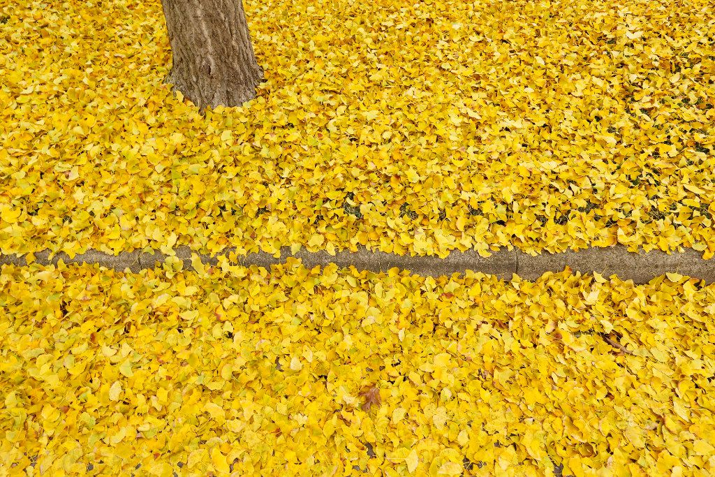 Colorful yellow leaves circle the base of a tree and curb along St. Johns Drive in Highland Park