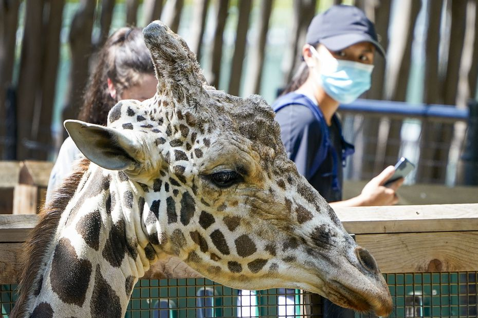 Guests wearing face masks take pictures of a giraffe at the Dallas Zoo on Thursday.