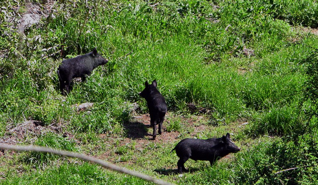 Feral hogs are pictured in this file photo. Similar sightings have been taking place in Mesquite as construction has driven out the population into view. (Sam Andrews/The Vicksburg Post, via AP)
