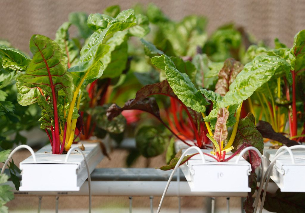 Swiss Chard in a hydroponics system greenhouse at Profound Microfarms in Lucas