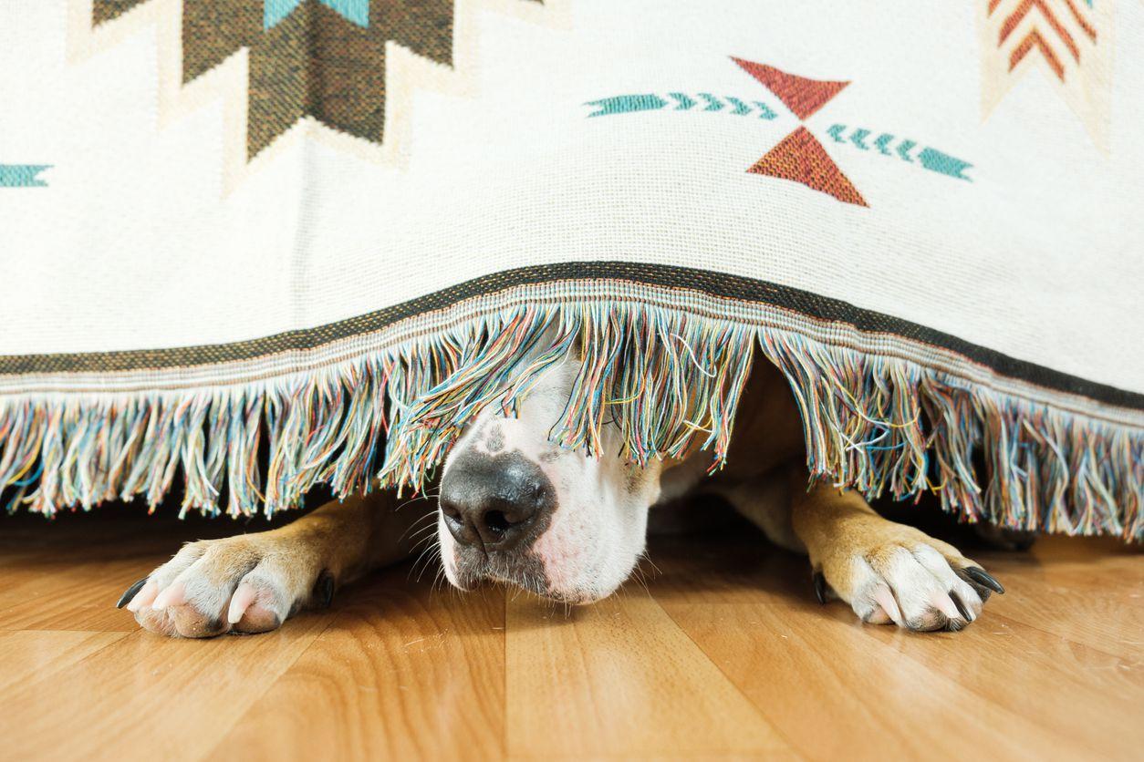 Las mascotas como los perros también sienten temor a los fuegos artificiales y truenos durante las celebraciones.