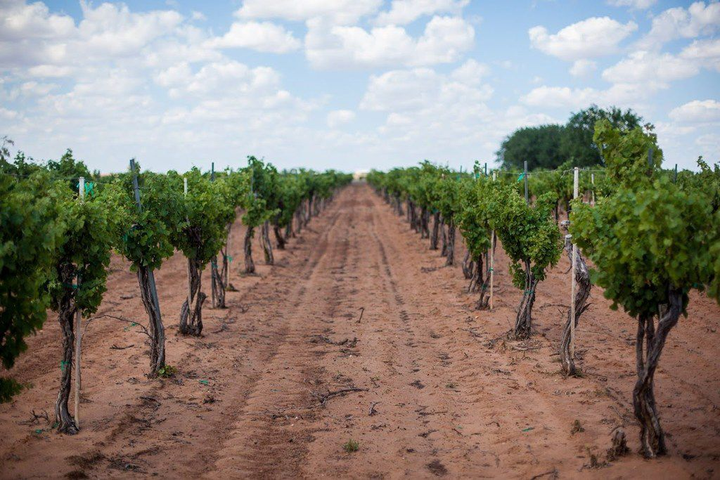 Grapes on the vine in the Texas High Plains
