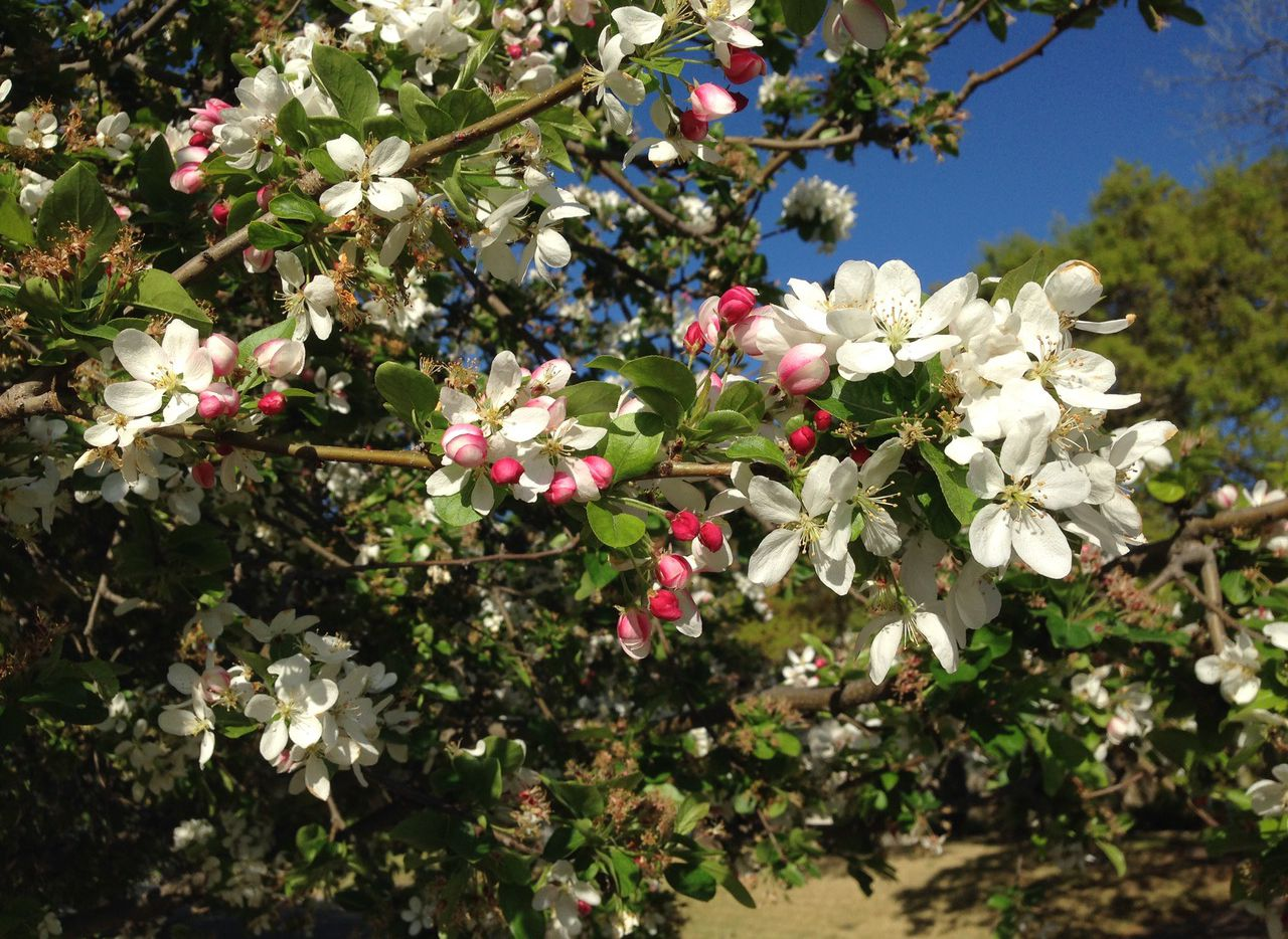 Crabapple is an excellent but underused small flowering tree.