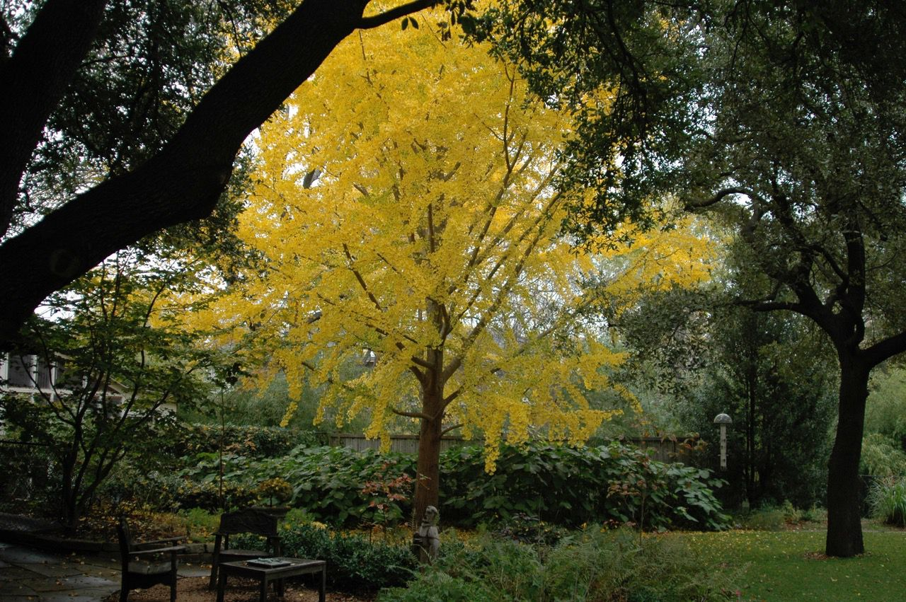 The Garrett Ginkgo is special because of its unusually fast growth.