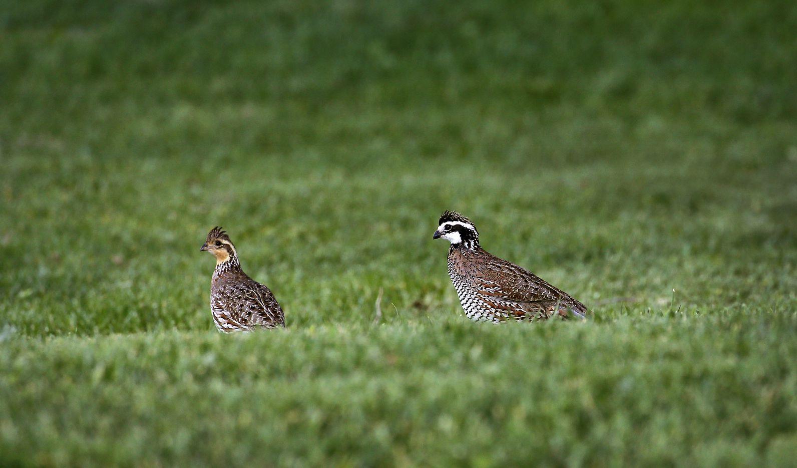A pair of quail near the lodge.