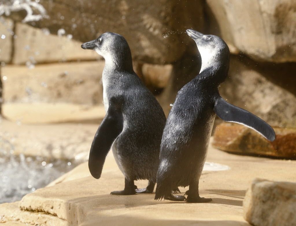 The Dallas Zoo's brother-sister penguin chick pair, Opus and Moshi, take their first swim in Dallas on March 22, 2017.