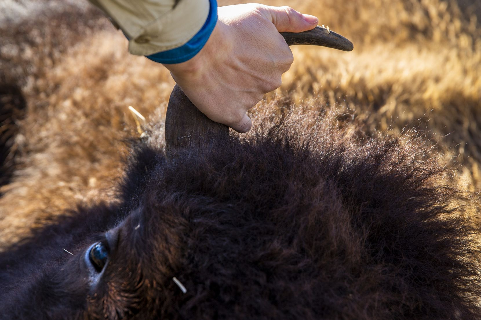 A man touches the horn of bison 26 shortly after her death during a bison field harvest event at Roam Ranch in Fredericksburg.