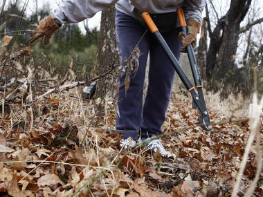 Barbara Baynham, working with the Society for the Preservation of Spring Creek Forest, helps clear the underbrush for a trail.