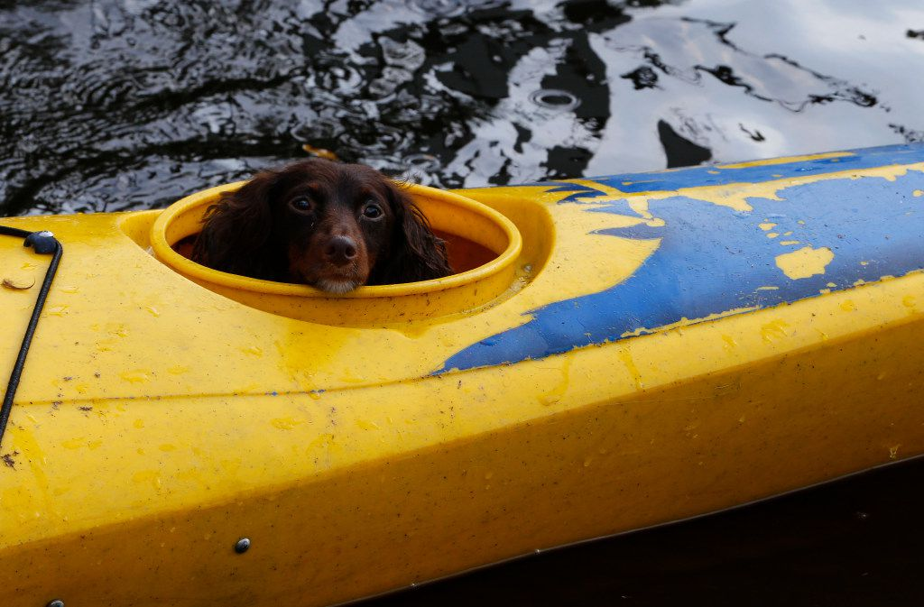 Mitsy the dog waits in her owners kayak down FM 1131 after Hurricane Harvey in Vidor, Texas, on Sept. 3, 2017.