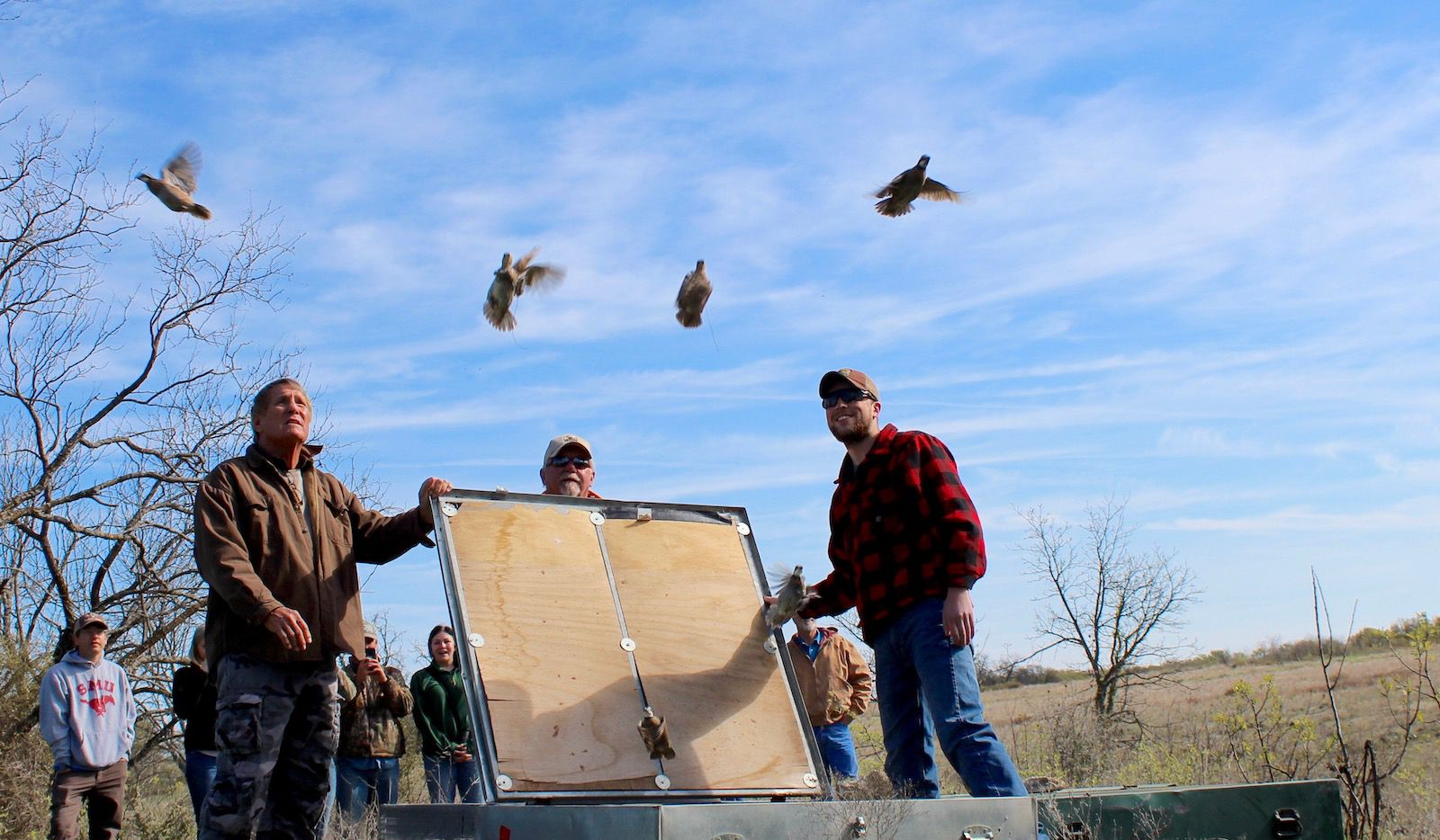 Bobwhites from West Texas and South Texas take flight at the Quahadi Ranch in Erath County as part of a multi-year translocation study being conducted  by researchers with Rolling Plains Quail Research Foundation and Tarleton State University.