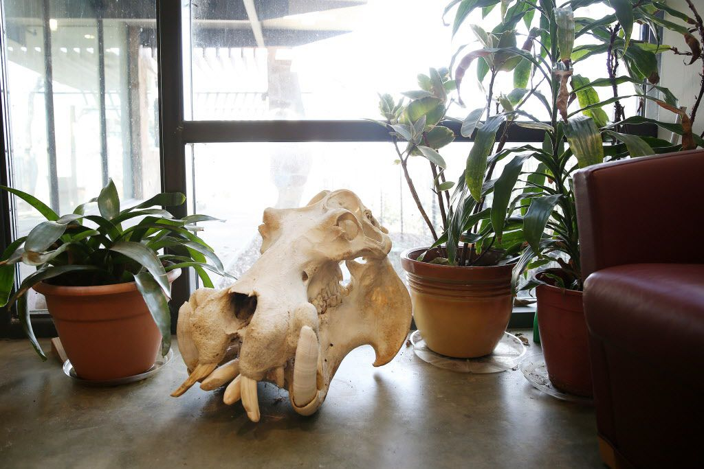 A hippopotamus skull sits in the foyer inside the A.H. Meadows Animal Health Care Facility at the Dallas Zoo in Dallas Tuesday January 10, 2016. The zoo hospital is equipped with a pathology lab, operation room, radiology lab and quarantine wards.