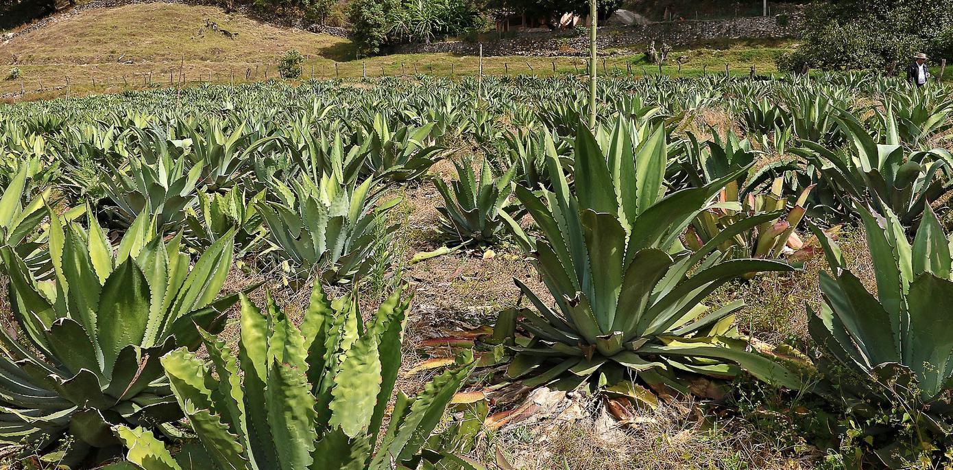 Una plantación de agave en Jalisco, México(AGENCIA REFORMA)