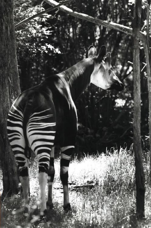 In this file photo dated April 28, 1990, an okapi grazes at the Wilds of Africa exhibit at the Dallas Zoo.