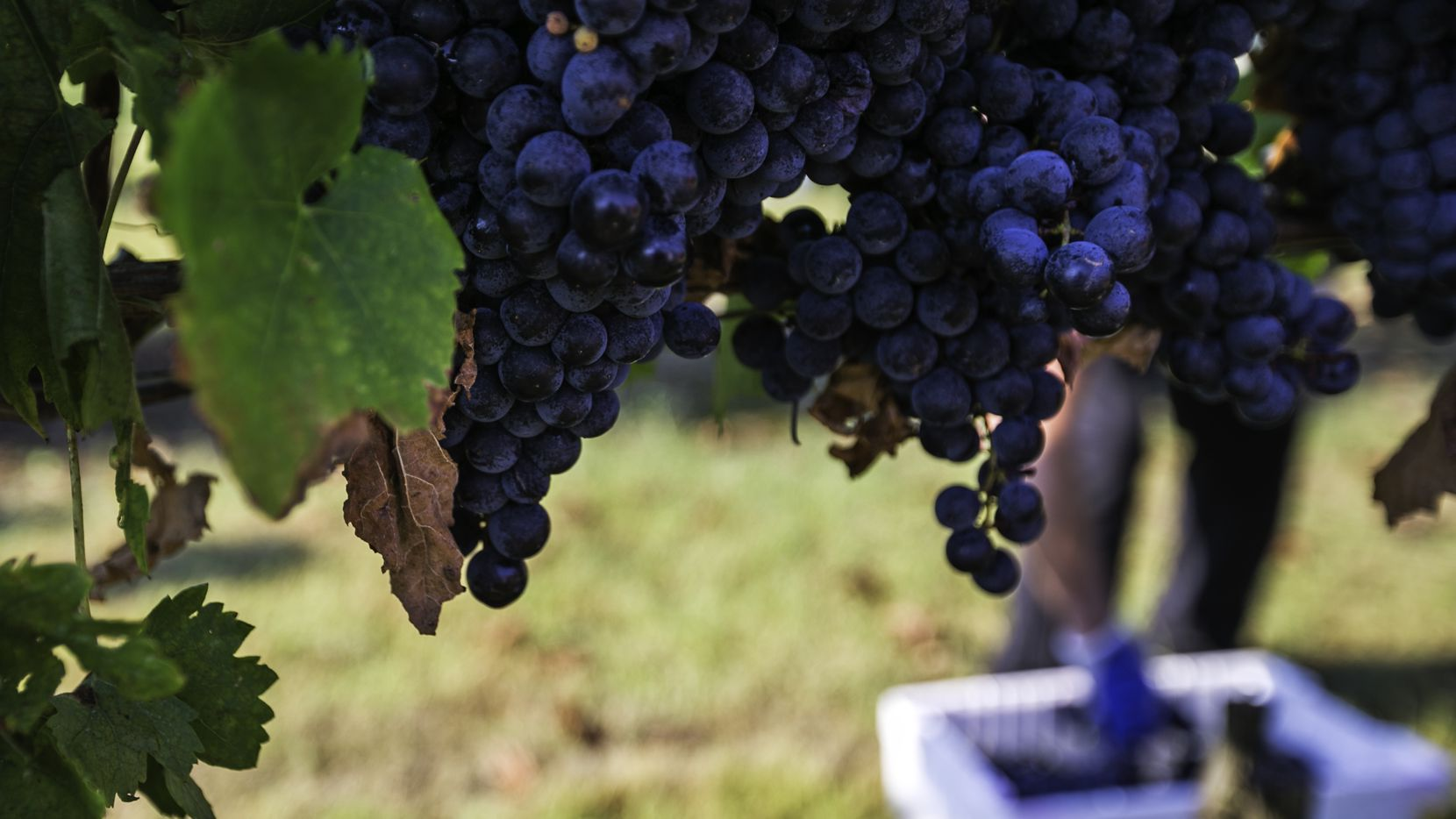 Tempranillo grapes ready for harvest at the Eden Hill Vineyards in Celina, Texas on Saturday, August 5, 2017.