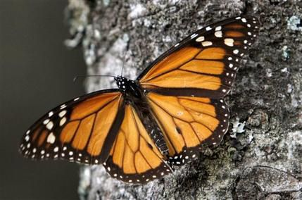 In this file photo, a Monarch butterfly perches on a tree at the Sierra Chincua Sanctuary in the mountains of Mexico's Michoacan state. (AP Photo/Marco Ugarte, File)