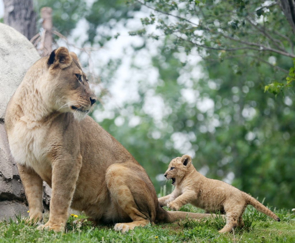 Bahati, a lion cub, plays with her aunt Jasiri while making her public debut at the Dallas Zoo in Dallas Friday May 19, 2017. The cub was joined by her mother Lina and aunt Jasiri. Bahati is the first lion cub born at the zoo in 43 years. She was born weighting nearly 3 pounds on March 17 and she is now 13 pounds.