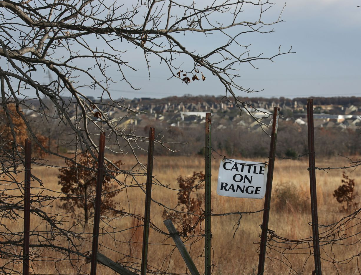 As suburbia encroaches, cattle can still graze in the fields in Bartonville, Texas, photographed on Wednesday, January 4, 2017.