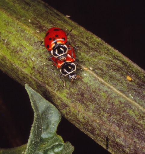 Adult convergent lady bugs on a leaf