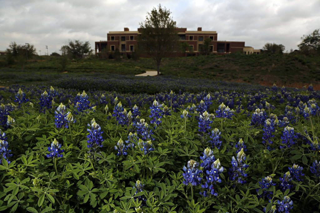 Texas Native Park, on the grounds of the George W. Bush Presidential Center, showcases the state flower as well as other native plants.