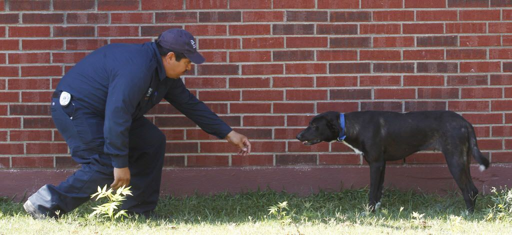 Dallas Animal Services animal control officer Esteban Rodriguez approaches a dog left loose at a residence in West Dallas. (Michael Ainsworth/The Dallas Morning News)