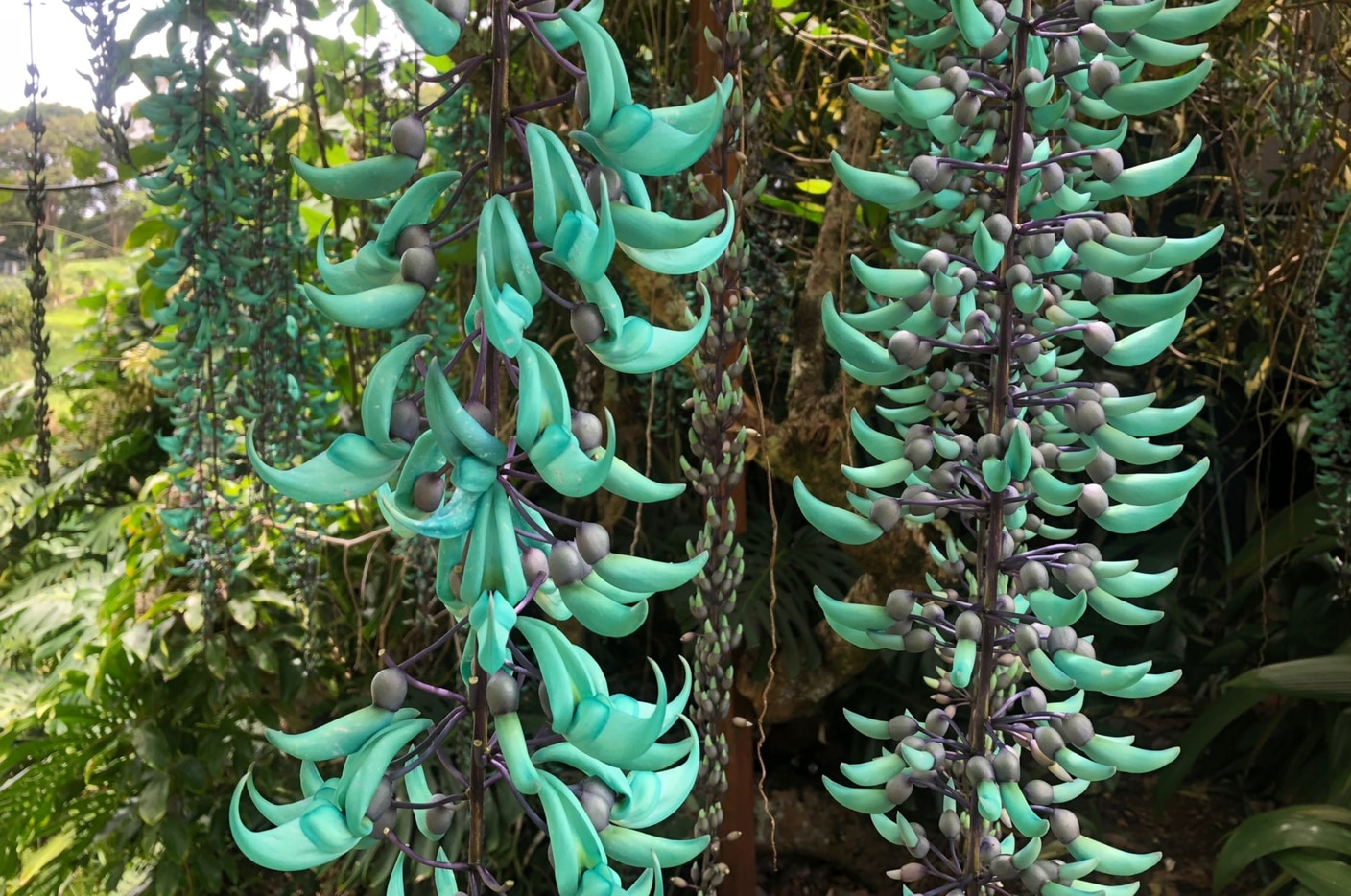 Jade Vine hangs from a tree on the Von Erichs' property.
