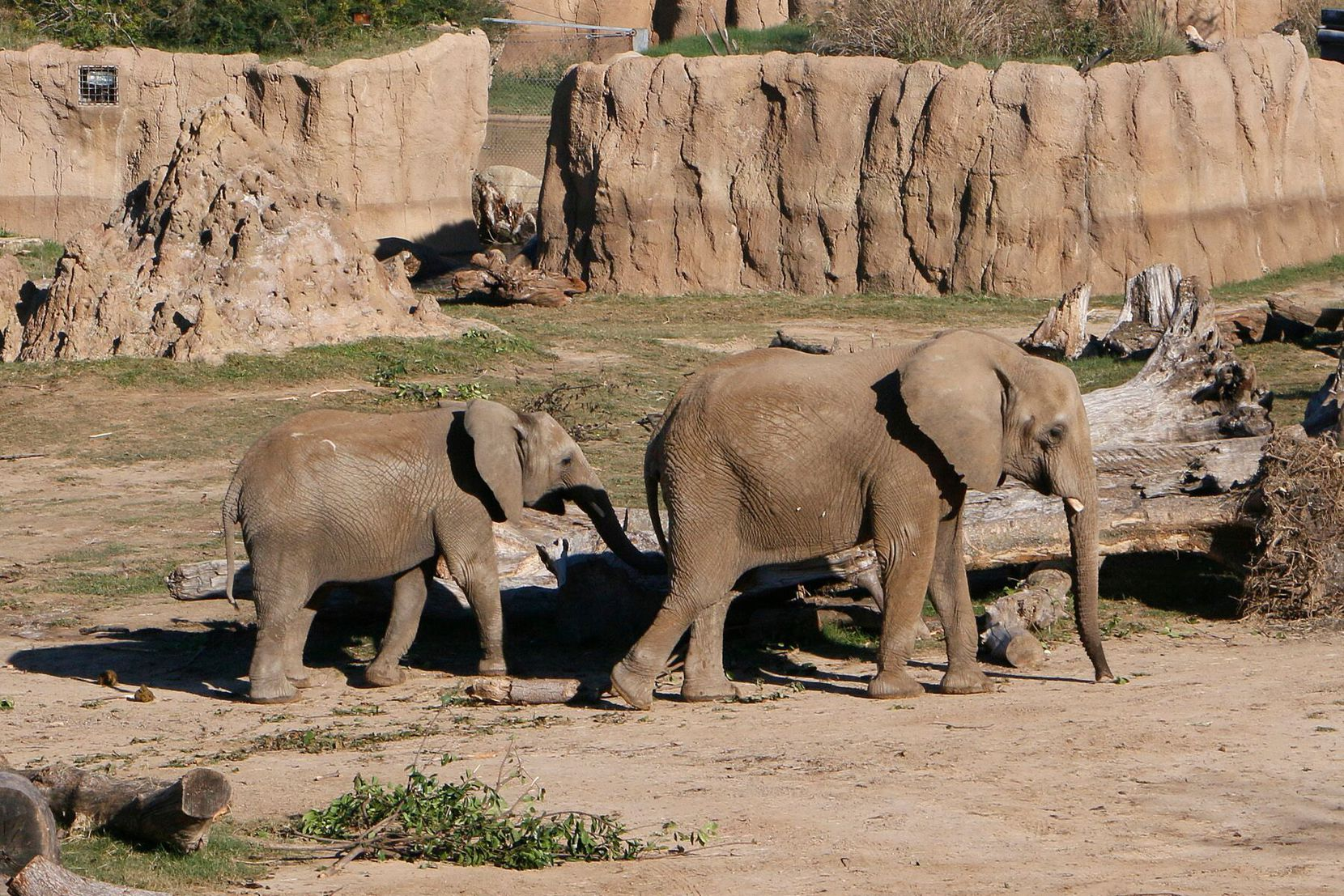 Nowalzi and her daughter Amahle at the Giants of the Savanna habitat at the Dallas Zoo. The two elephants were moved to the Fresno Chaffee Zoo in California.