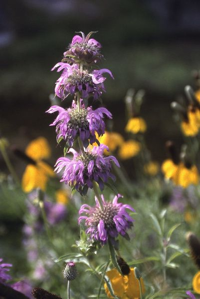 Past season have brought bountiful color to state parks and highways like this Devils River Horsemint.