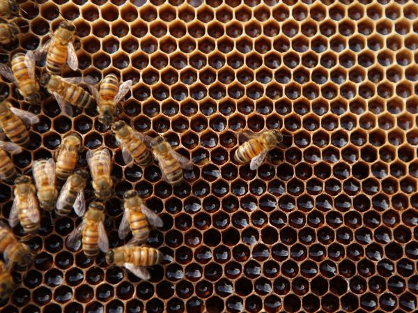 Bees are at workon a honeycomb at the Fairmont Hotel in downtown Dallas. The hotel has two hives that produce honey used by the culinary staff.