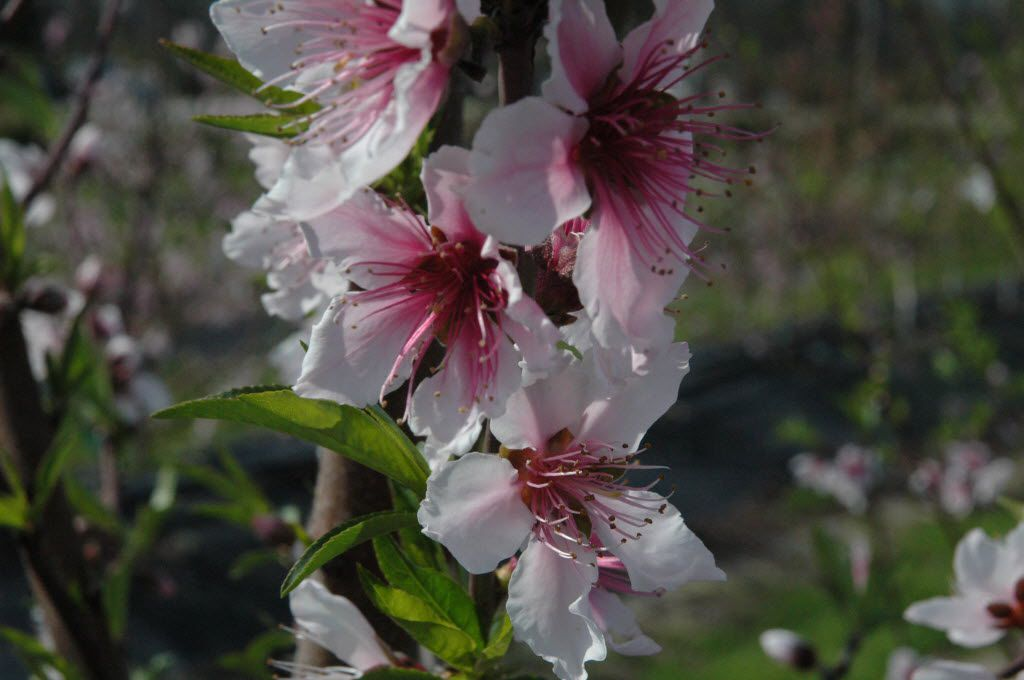 Peach blossoms create a pink cloud in the spring.