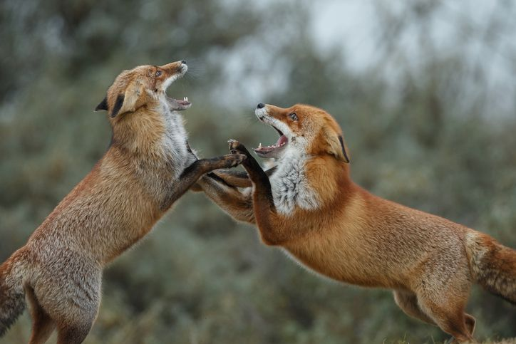 Two red foxes fighting
