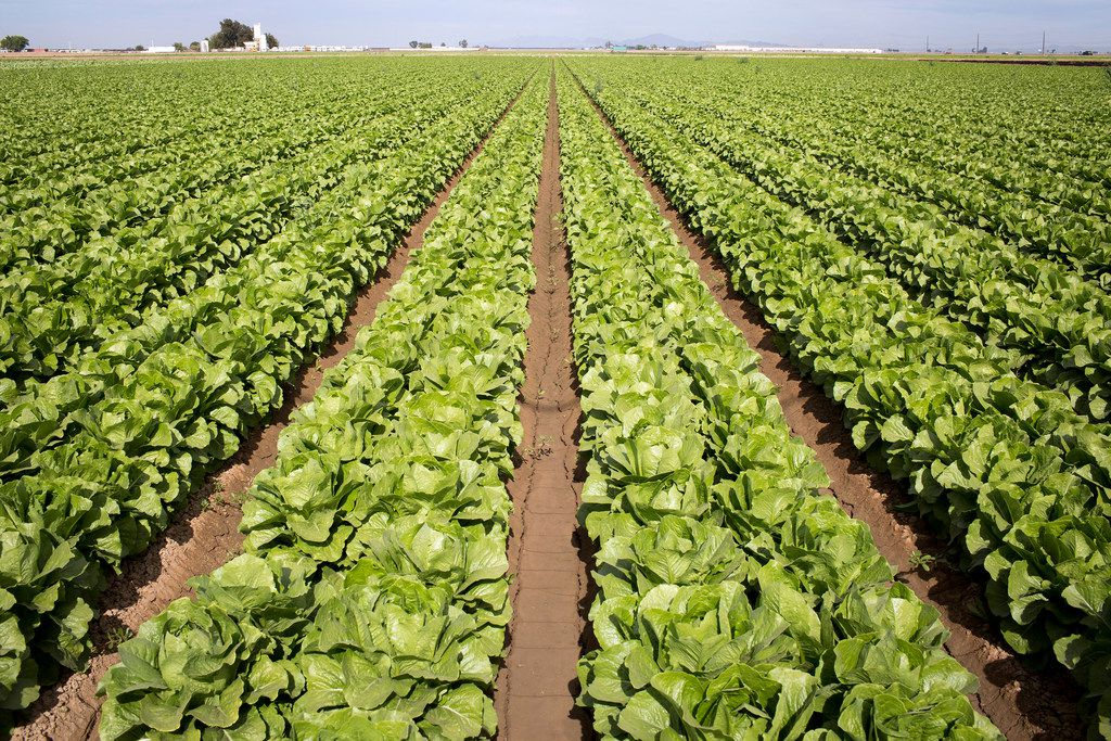 A romaine lettuce field near San Luis, Ariz. E. coli linked to romaine lettuce from the Yuma, Ariz., region has infected nearly three dozen people in 11 states, according to the Centers for Disease Control and Prevention.
