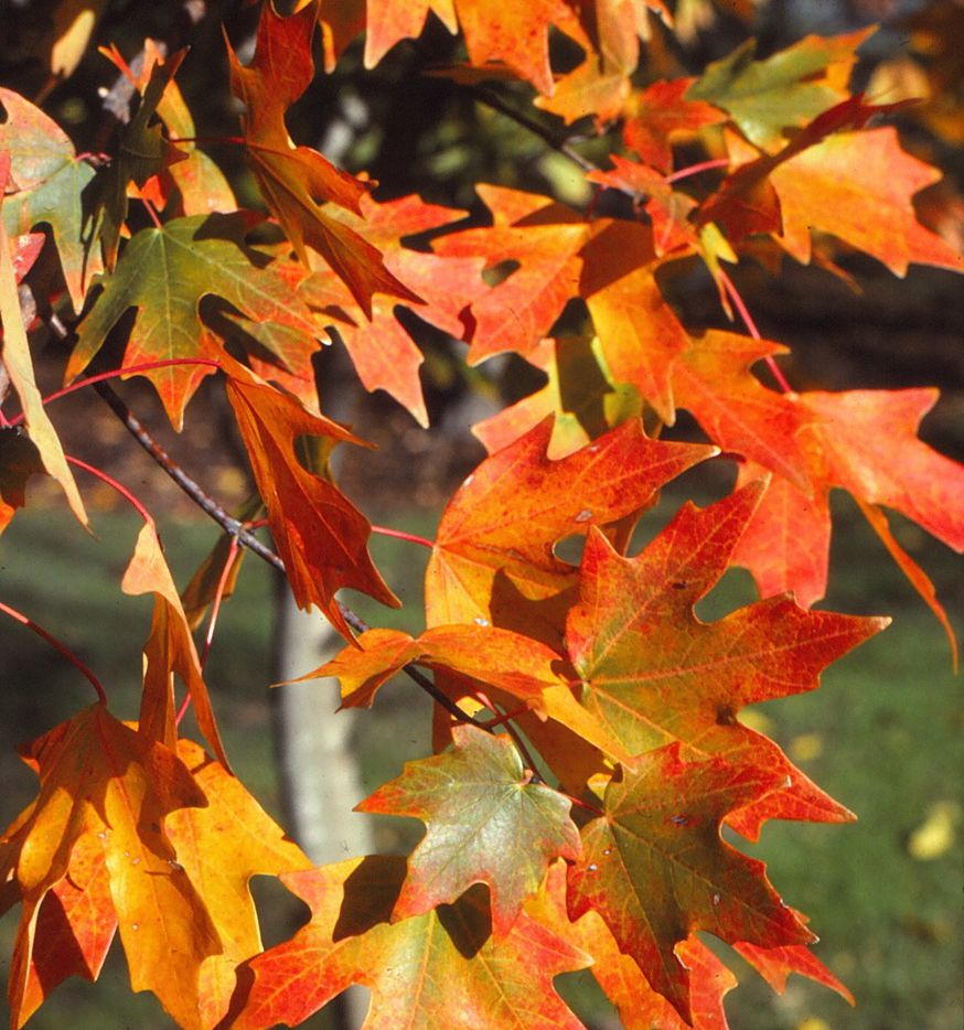 The bigtooth maple tree is the best maple choice for North Texas.